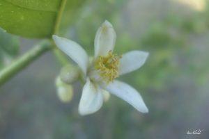 Fleur de cédrat de Nonza