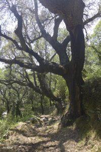 Jour 3. Passage dans une forêt de chênes lièges.