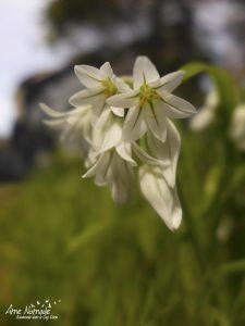 Fleurs d'ail 3 angles