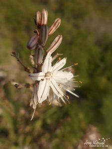 Plantes sauvages Cap Corse - Asphodèle