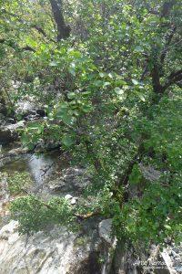 Aulne à feuilles en cœur