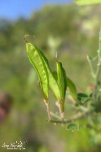 Calicotome épineux - Fruit glabre