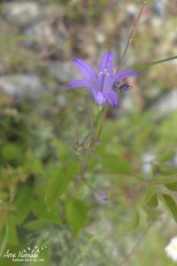 Plantes sauvages du Cap Corse - Campanule raiponce