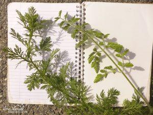 Comparaison achillée de Ligurie (gauche) et carotte sauvage (droite)
