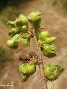 Châtaignier, feuilles attaquées par le cynips