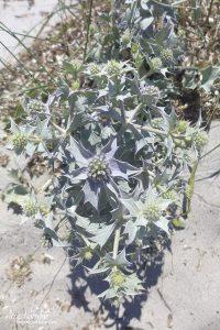 Chardon bleu des sables