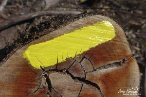 Tronc coupé de chêne vert