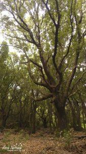 Grand spécimen de chêne vert