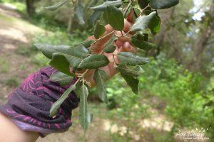 Feuilles de chêne vert
