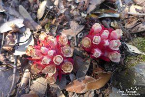 Cytinet à fleurs blanches