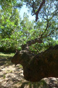 Une branche de pistachier lentisque arborescent près de la chapelle Santa Maria