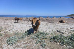 """Les taureaux et les vaches de la """"plage aux vaches"""""""
